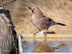 Arrendajo euroasiático (Garrulus glandarius)  (112) (eb3alfmiguel) Tags: aves passeriformes corvidos coracidae arrendajo euroasiático garrulus glandarius corvidae pájaros