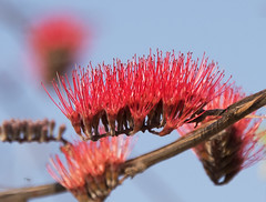 Red Spike Flower Combretum rotundifolium_4467 (Alice & Seig) Tags: africa tanzania ruahanp tanzania2017 indianalmondcombretaceae myrtales brassicales rosidae plants flickr mbeyaregion