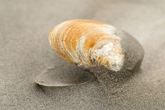 Clam Carcass (swingaweigh) Tags: clam clams clamshell clamshells seaclam seaclams seaclamshell seaclamshells