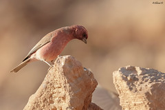Sinai rosefinch (Dave 5533) Tags: sinairosefinch songbird wild nature outdoor bird birwatching wildlife naturephotography animal birdsinisrael canoneos1dx canonef300mmf28 wildlifephotography ngc npc