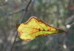 A leaf's decay lets the light outline its edges (Monceau) Tags: leaf pastitsprime outlines brown edges pinpricks light sunlit bokeh macro backlit cobweb leafmap map 97leaforleaves 118picturesin2018
