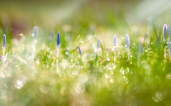 The year's awakening (Ans van de Sluis) Tags: 2018 ansvandesluis january bokeh bokehlicious crocus dreamy flora floral flower macro nature winter