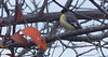 Lesser goldfinch 20151202 (caligula1995) Tags: 2015 birdwatching goldfinch plumtree