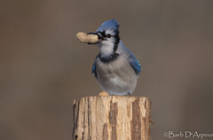 Sometimes you feel like a nut... (naturethroughmyeyes.com) Tags: bluejay nature wildlife outdoors winter wasagabeach ontario canada northamerica copyrightbarbdarpino barbaralynne barbaralynnedarpino barbdeardendarpino canon1dx eos1dx naturethroughmyeyescom naturephotographer wildlifephotographer femalephotographer backyardbird cyanocittacristata