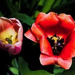 Toronto Ontario ~ Canada ~ Edwards Gardens ~ Botanical Garden ~ Glowing Tulips thumbnail