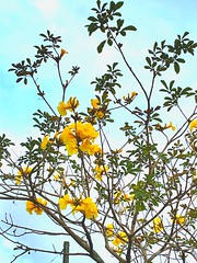 Looking up (tracysolomon) Tags: apple tracysolomon february outdoors nature air crisp wind moments share memories moment takein lookup lookingup tampa florida capture beauty flowers iphone yellow sky
