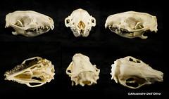 Erinaceus europaeus (achrntatrps) Tags: crânes skulls bones os animals nikkor d800 pce45mmf28 alexandredellolivo suisse lachauxdefonds lycéeblaisecendrars collection sb900 sb800 achrntatrps achrnt atrps photographe photographer flash
