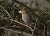 Hawfinch (Steve Ashton Wildlife Images) Tags: hawfinch finch godmersham kent coccothraustes coccothraustescoccothraustes