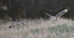 First one round the field and back here is the winner! (Chris Bainbridge1) Tags: asioflammeus shortearedowl in flight cambridgeshire