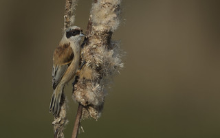 Penduline tit - Very rare., but we were lucky!