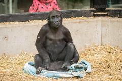 2018-02-20-10h45m49.BL7R0016 (A.J. Haverkamp) Tags: canonef100400mmf4556lisiiusmlens shae yanga amsterdam noordholland netherlands zoo dierentuin httpwwwartisnl artis thenetherlands gorilla pobamsterdamthenetherlands dob21012016 dob29102016 pobhannovergermany nl