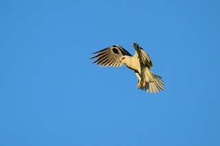 White-tailed Kite 0227