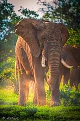KENYA 2015 (Fastsky) Tags: elefante elephant pachiderma zanne tusk avorio ivory nature natura save kws kenya tsavo kenia ranger wild savana love ecosystem ecosistema animali animals big care africa safari