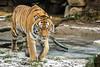 Supermodel (Anja Anlauf) Tags: el roi sibirisch tiger raubkatze männlich groskatze tier säugetier bedroht