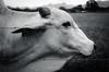 Bull - Joinville/SC - Brasil (Gilberto Russo) Tags: gilbertorusso ranchoqueimado santacatarina brasil d5100 joinville nikon sc bull touro bw blackandwhite black white fence cerca