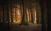 Early Morning Glow. (Ian Emerson) Tags: trees sunlight glow formal winter pine outdoor woodland forest walking peakdistrict derbyshire morning sunrise