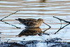 263-Edit.jpg (Kico Lopez) Tags: miño lugo spain agachadizacomún rio birds becacina commonsnipe gallinagogallinago aves galicia