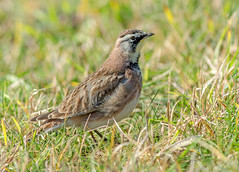 JWL5368  American Horned Lark.. (jefflack Wildlife&Nature) Tags: larks lark americanhornedlark hornedlark birds avian wildbirds wildlife wetlands wintervagrant songbirds animal animals moorland marshland meadows marshes heathland hedgerows reservoirs countryside nature