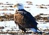 bald eagle near Waukon IA 854A1543 (lreis_naturalist) Tags: bald eagle waukon allamakee county iowa larry reis