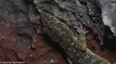 12-El MUNDO MACRO DEL CIMARRON MAYOR EN ISLA BEATA! UNA DE LAS AVENTURAS MAS ESPECTACULARES DE MI VIDA! (Cimarrón Mayor 12,000.000. VISITAS GRACIAS) Tags: reinoanimalia filochordata clasesauropsida ordensquamata subordenlacertilia familiagekkonidae génerohemidactylus geckocaserotropical especiehemidactylusmabouia nombreeninglestropicalhousegecko afroamericanhousegecko cosmopolitanhousegecko lugardecapturaislabeata islabeata republicadominicana dominicanrepublic cimarrónmayor panta pantaleón josémiguelpantaleón macro 7dmarkii canoneos canoneos7dmarkii naturaleza libertad libertee libre free fauna dominicano républiquedominicaine repubblicadominicana dominikanischerepublik dóminískalýðveldið dominikanskerepublik