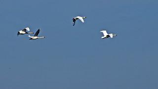 Swans flying over Stockholm