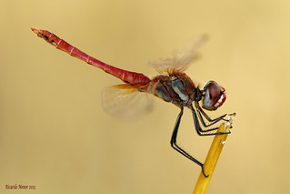 Sympetrum fonscolombii. (Selys, 1840) Male