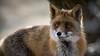 Vos / Vulpes vulpes / Red fox (Dirk-Jan van Roest) Tags: nikon wild wildlife nature animal animals pure vos vulpesvulpes vulpes beast portrait animalplanet fox redfox