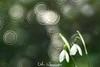 Snow Drops (udo w-a-n-n-i-n-g-e-r) Tags: blumen blumenwanninger bokeh bokehlicious flora manualfocus pflanzen vintagelens beautiful beyondbokeh blur bokehgraph depthoffield detail dof dreamy extremebokeh flower flowers garden greatphotographers macro macrotube macros manual manualexposure manualfocusing manuallens manualondigital mth nature ngc petals preset primelensprime silkybokeh smooth smoothbokeh udowanninger vintage lens focus spring
