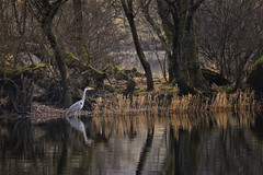 Heron, Coniston Water, Lake District (MelvinNicholsonPhotography) Tags: heron coniston lakes cumbria lakedistrict