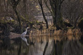 Heron, Coniston Water, Lake District