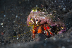 Hermit crab maybe Dardanus lagopodes