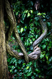 Grand old Wisteria roots