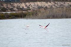 salinas-de-san-pedro-murcia-19 (psemitiel) Tags: flora fauna aves flamencos flamenco vuelo volar laguna salina san pedro pinatar murcia turismo ecologia parque ecologico naturaleza