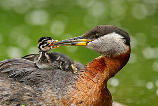 Grebe Parent Feeding Baby On Its Back