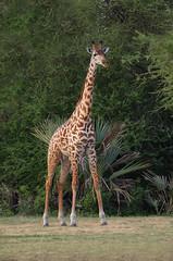 Giraffe (ashockenberry) Tags: giraffe tall wildlife wildlifephotography wilderness wild nature herbivore grassland savanna ashleyhockenberryphotography naturephotography safari towering