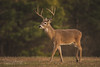 Berry Buck (Brad Lackey) Tags: select deer whitetail buck antlers winter sunset field trees warmlight bokeh berrycollege rome georgia tamron150600mm d7200