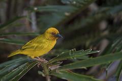 Webervogel (hph46) Tags: sansibar webervogel ploceidaesp vogel bird zanzibar afrika sony alpha6500 canonef70200mm14lisusm