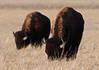 Bison (Circled Thrice) Tags: bison buffalo wild wildlife natural nature meadow prairie animal mammal grazing graze rmna rockymountainarsenal nationalwildliferefuge refuge game aurora commercecity denver canon eos rebel t5i