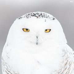 ''Intensité!'' Harfang des neiges-snowy owl (pascaleforest) Tags: oiseau bird animal nikon nature eye yeux owl hibou snowyowl passion wild wildlife winter hiver jaune yellow regard intensité wwwpascaleforestphotoscom faune plume