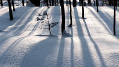 dream big (marianna_a.) Tags: small baby pine tree light shadows white snow forest winter montreal canada mariannaarmata