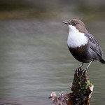 Waterspreeuw / Cinclus cinclus / White-throated dipper thumbnail