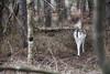 Bois aux daims (Fla(v)ie) Tags: nature forest forêt calm calme trees arbres biche daim animal deer winter
