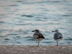 Suis mon regard... (gillesgxl) Tags: regard look couple oiseau bird animal composition deux both nature symétrie symmetry