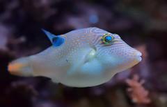 """Vermutlich ein Krugfisch, vielleicht """"Falschaugen Krugfisch"""" (to.wi) Tags: fisch fish krugfisch towi wilhelma aquarium"""