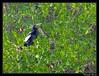 Anhinga d'Amérique (Anhinga anhinga) (cquintin) Tags: chordata vertebrata aves suliformes anhingidae anhinga snake bird