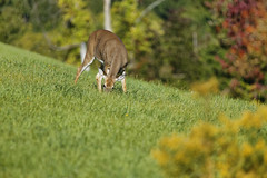 Deer on the lawn 4 (Largeguy1) Tags: approved deer lawn animal nature green tamron 150 600mm lens canon 5d mark iii