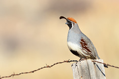 Gambel's Quail (Amy Hudechek Photography) Tags: quail47 gambelsquail quail nature wild wildlife colorado desert january amyhudechek