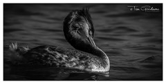 Preening. (timgoodacre) Tags: greatcrestedgrebe great crestedgrebe crested nature waterfowl waterbird water bird river canon canon80d canon100400 riverbird