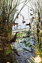Lake View (Peachy keen Photography) Tags: australia lake ferns bird swampland water glisten hue nature