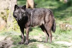 Louve du Canada_MORANE (Passion Animaux & Photos) Tags: loup canada canadian wolf canis lupus occidentalis parc animalier saintecroix france